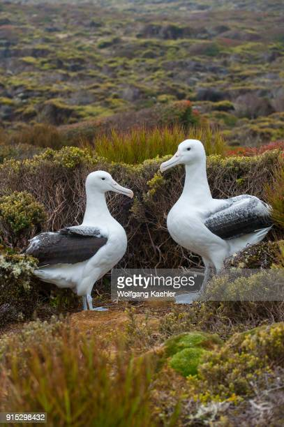 A pair of southern royal albatrosses on Enderby Island a subAntarctic Island in the Auckland Island group New Zealand