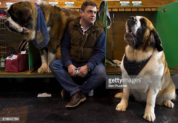A pair of St Bernard dogs sit with their owner on the third day of Crufts 2016 on March 12 2016 in Birmingham England First held in 1891 Crufts is...