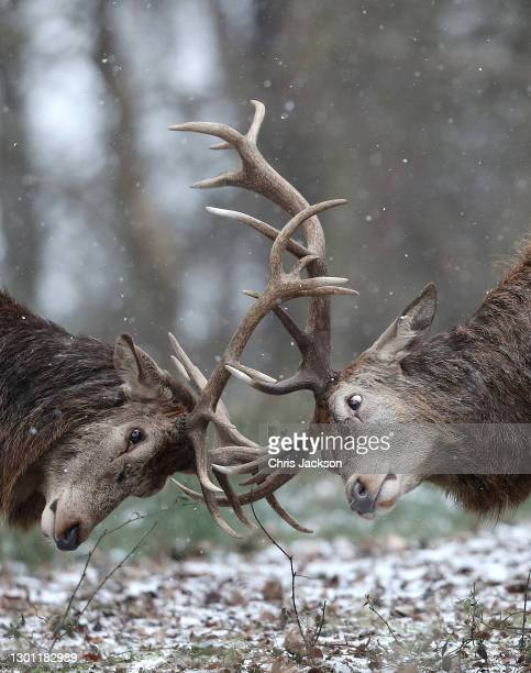 Pair of stags lock antlers in the snow in Richmond Park on February 09, 2021 in London, England. A Met Office Weather Warning remains in place for...
