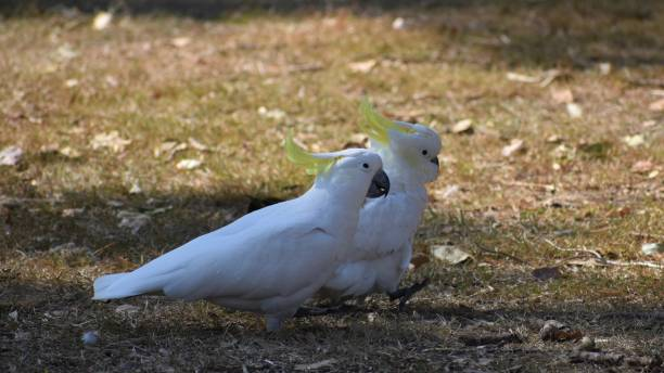 Pair of Sulfer-crested Cockatoos having a stroll in the park together