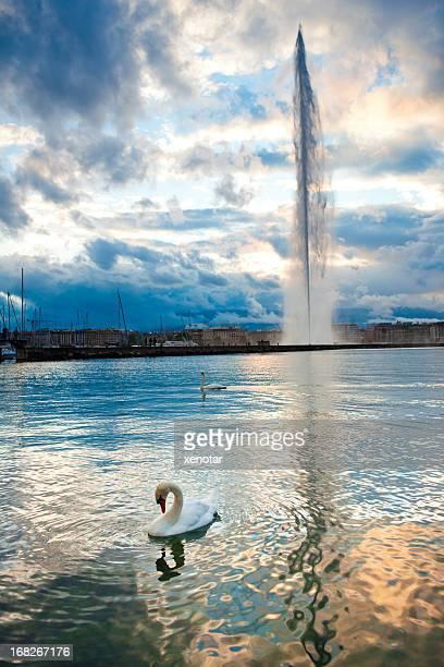 Pair of swans swimming on Lake Geneva