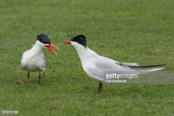 A Pair of Terns