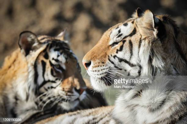 A pair of the 39 tigers rescued in 2017 from Joe Exotic's GW Exotic Animal Park relax at the Wild Animal Sanctuary on April 5 2020 in Keenesburg...