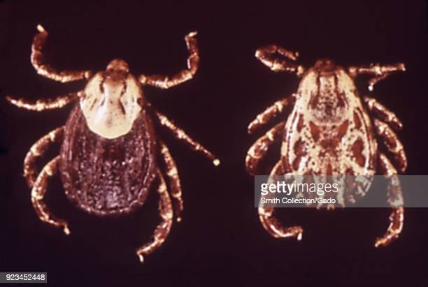 Pair of ticks disease carriers found in and around migrant labor camps 1972 Image courtesy Centers for Disease Control