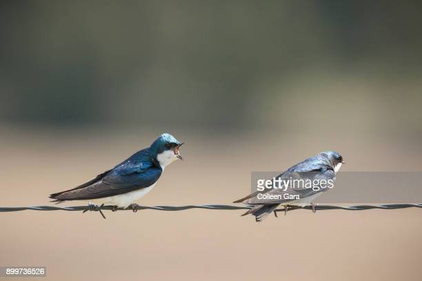 Pair of Tree Swallows on Barbed Wire, Alberta, Canada