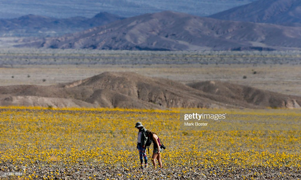 A pair of visitors tip-toe through a field of Desert Sunflowers during rare 'super bloom' of wildflowers in Death Valley National Park March 4, 2016. The hottest, driest, lowest place in North America is carpeted in carpets of gold and patches of purple, attracting tourists from all over the world