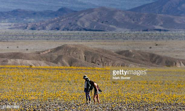 A pair of visitors tiptoe through a field of Desert Sunflowers during rare 'super bloom' of wildflowers in Death Valley National Park March 4 2016...
