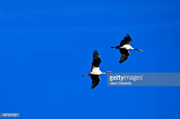 A pair of vulnerable black-necked crane in flight in a clear blue sky above a Himalaya wetland.