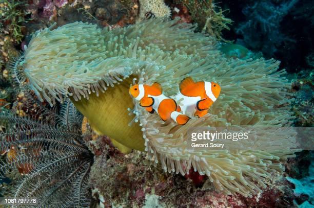 a pair of western clown fish in their anemone - provincia de cebú fotografías e imágenes de stock