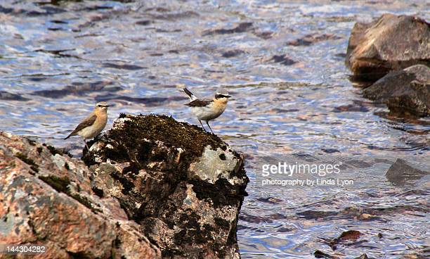 Pair of Wheatears