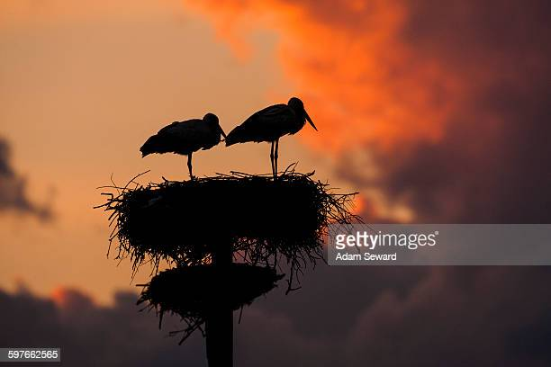 Pair of white stork (Ciconia ciconia) on artificial nesting pole at sunset