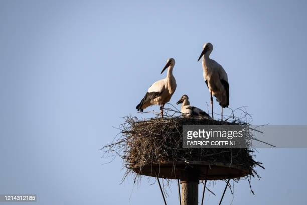 A pair of white storks and their chick stand in their nest at sunset on May 20 2020 near Avenches western Switzerland where dozens of this...