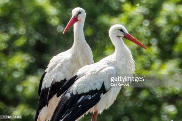 A pair of White Storks are seen on a nest on May 22 2020 in Horsham England The birds are one of several breeding pairs in an area of Horsham one of...