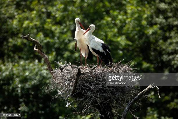 Pair of White Storks are seen on a nest on May 22, 2020 in Horsham, England. The birds are one of several breeding pairs in an area of Horsham, one...
