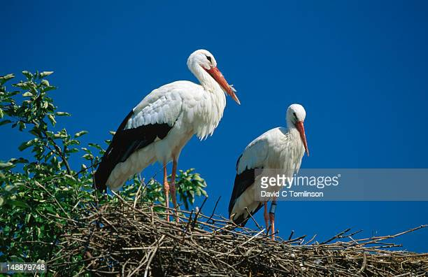 Pair of white storks (Ciconia ciconia) on nest.
