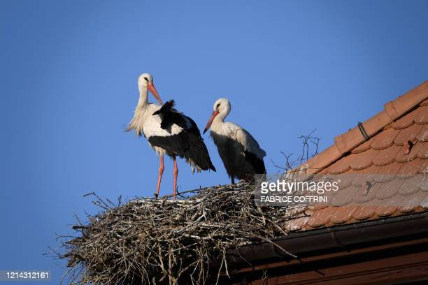 A pair of white storks stand in their rooftop nest at sunset on May 20 2020 near Avenches western Switzerland where dozens of this longdistance...
