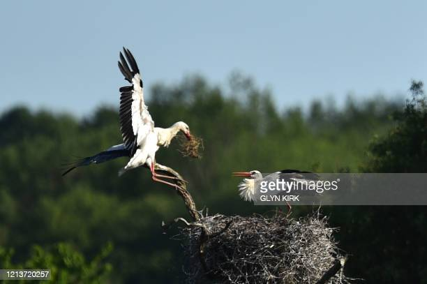 A pair of White Storks tend their nest near Horsham southern England on May 18 2020 The White stork has been reintroduced to England after an absence...
