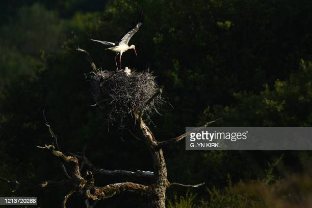 Pair of White Storks tend their nest near Horsham, southern England on May 18, 2020. - The White stork has been reintroduced to England after an...