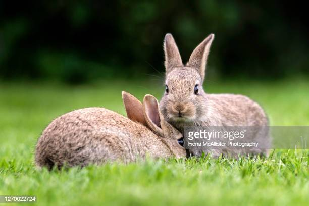 a pair of wild bunny rabbits cuddle together on grass - animals in the wild stock pictures, royalty-free photos & images