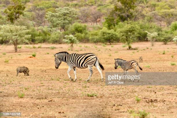 pair of wild zebras in south africa - animated zebra stock pictures, royalty-free photos & images