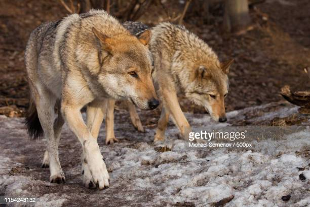 a pair of wolves (husband and wife, boyfriend and girlfriend) wa - michael wolf stock photos and pictures