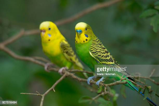 Pair of yellow and green Australian Budgies, or small Parakeet, or Shell Parakeet,  perched on a branch with Scientific name: Melopsittacus undulatus