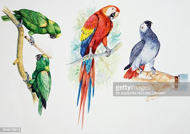 Pair of Yellowcrowned Amazon Scarlet Macaw and Grey Parrot Psittacidae drawing