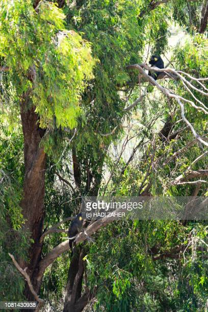A pair of Yellow-tailed black cockatoos resting on a tree | Regional Victoria | Australia