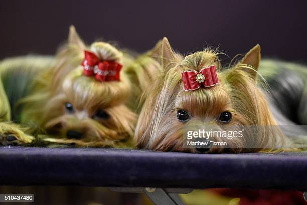 A pair of Yorkshire Terriers wait in the grooming area during the first day of competition at the Westminster Kennel Club 140 Annual Dog Show on...