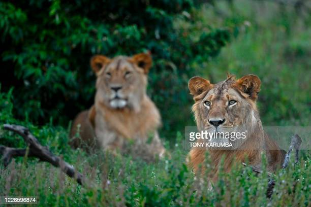 Pair of young male lions sit in a bush at the Ol Kinyei conservancy in Maasai Mara, in the Narok county in Kenya, on June 23, 2020. - At the heart of...