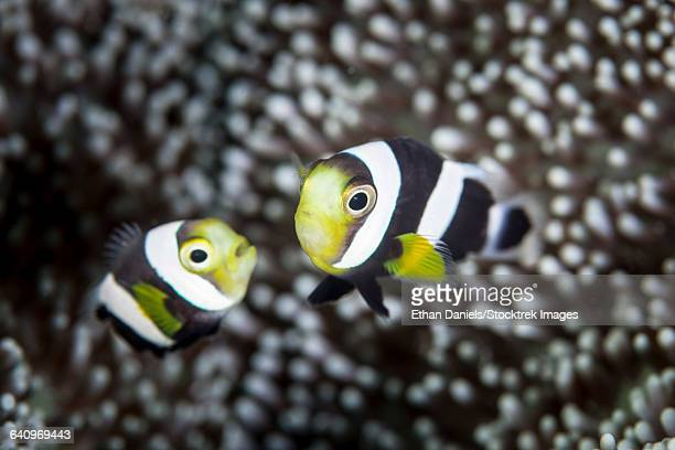 A pair of young saddleback anemonefish.