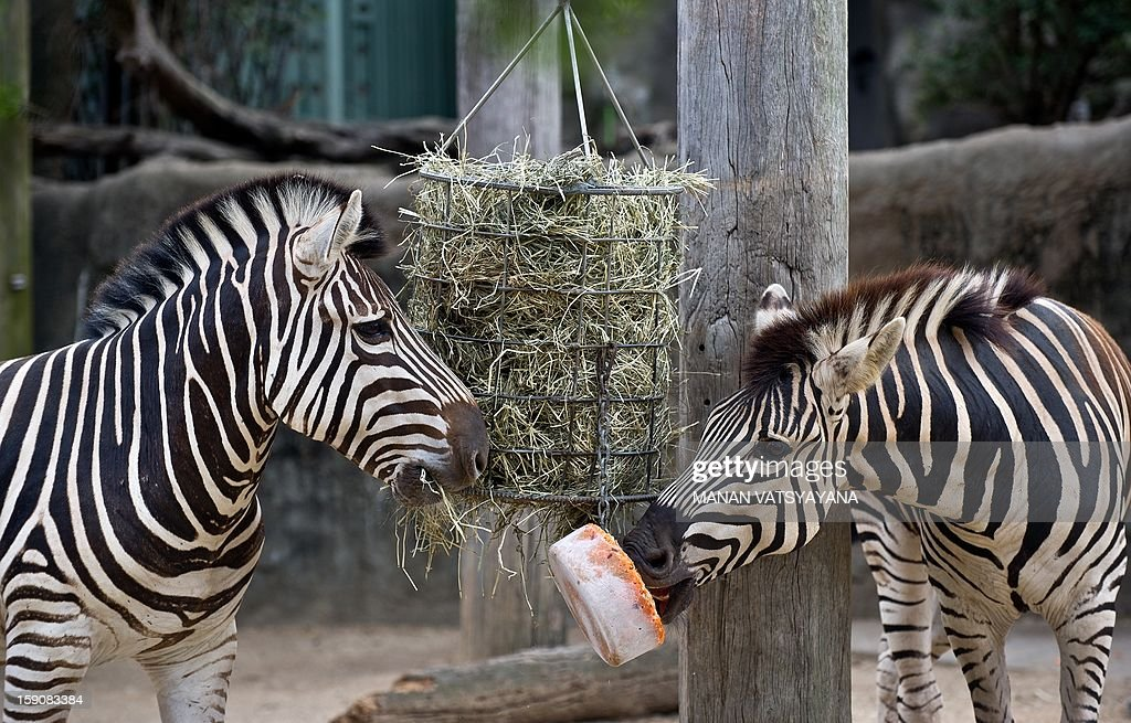 A pair of Zebra treat themselves with an iced carrot block (C) at the Taronga Zoo in Sydney on January 8, 2013. Keepers at the Taronga zoo prepared cold treats for animals to give them respite from the hot weather.
