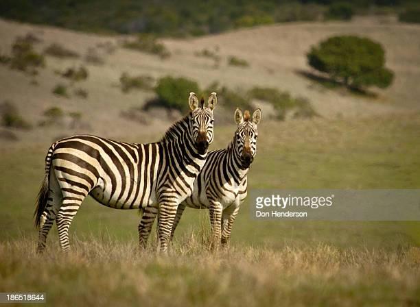 Pair of zebras staring at camera