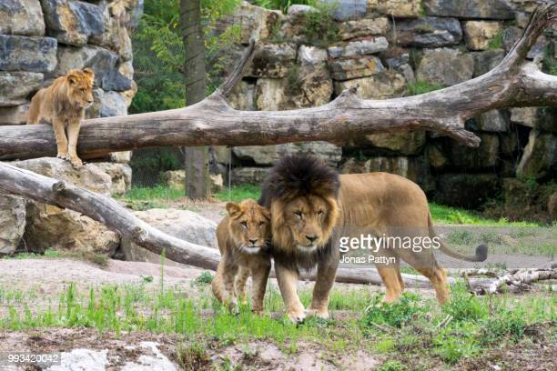 pairi daiza lion.jpg - zoo stock pictures, royalty-free photos & images