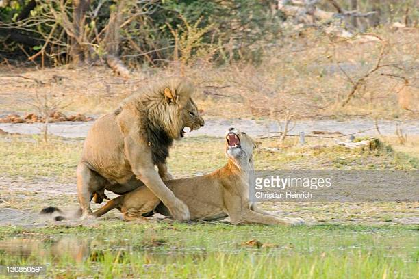 pairing lions (panthera leo) at the khwai river, moremi nationalpark, moremi wildlife reserve, okavango delta, botswana, africa - lion attack stock pictures, royalty-free photos & images