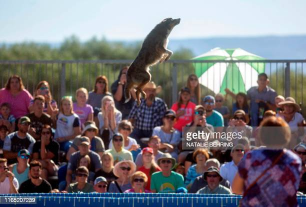 Paisley catapults himself in the air in a Dockdogs competition at the Soldier Hollow Classic in Soldier Hollow Utah on August 31 2019 The event is...