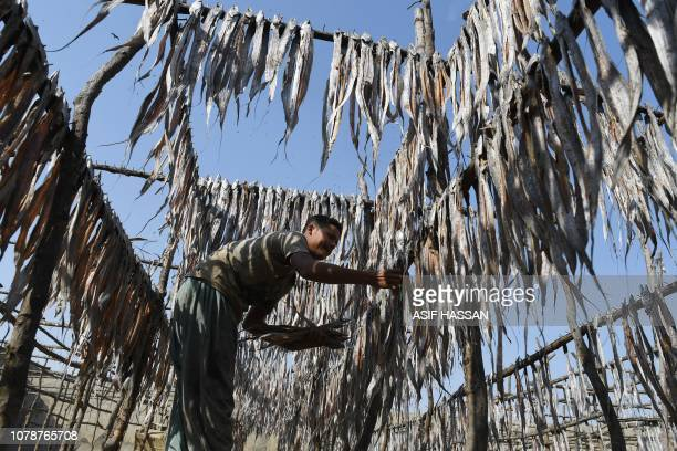 A Pakistan fisherman Bashir Ahmed collects dried fish to be hanged on hooks pierced at bamboos at a fishing village in this port city of Karachi on...