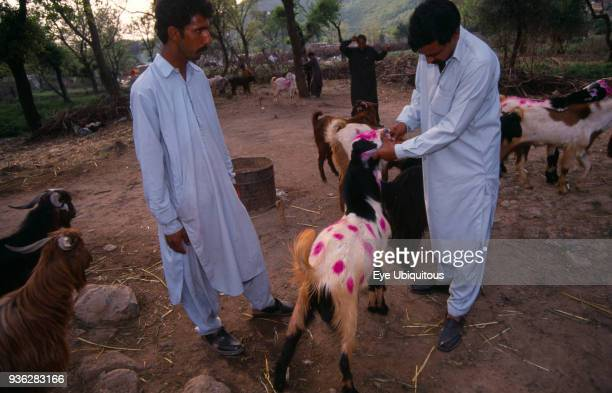 Pakistan North Islamabad Inspection of goats at market for ritual sacrifice at Eid festival