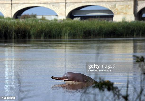 PakistanenvironmentconservationanimalFEATURE In this photograph taken on September 13 a blind dolphin swims along the Indus river in the southern...