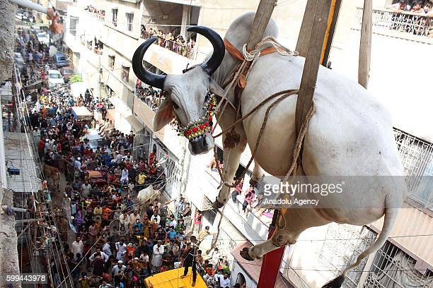 Pakistani breeder use crane to carry his animals down from the roof for transporting them to the livestock market for the Muslim's Eid alAdha in...