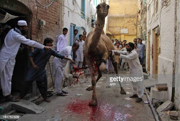 Pakistani butchers slaughter a camel during the Eid alAdha festival in Multan on October 16 2013 Muslims across the world are celebrating the annual...