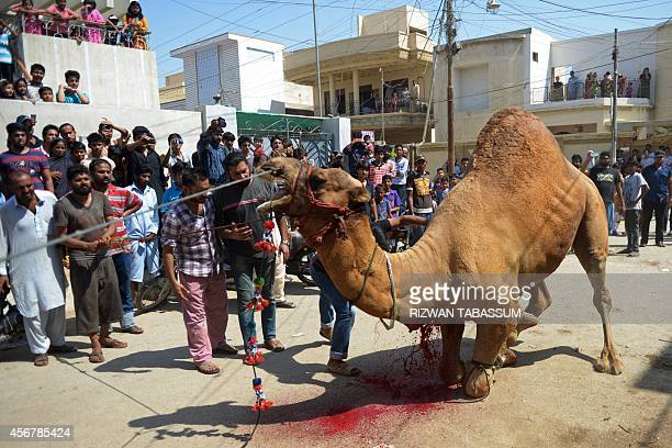 Pakistani butchers slaughter a camel on the second day of Eid alAdha in Karachi on October 7 2014 Muslims across the world are celebrating the annual...