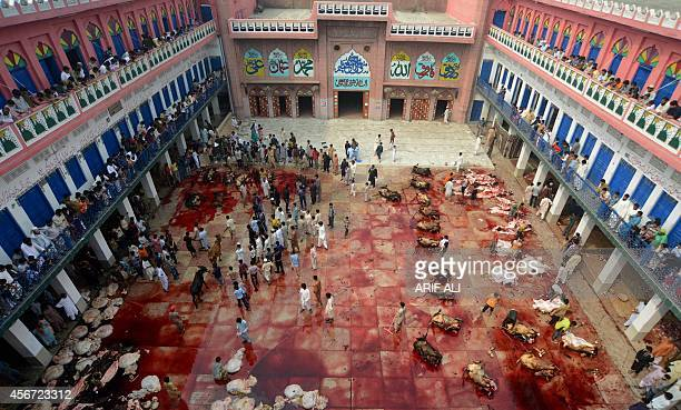 Pakistani butchers slaughter bulls after offering Eid alAdha prayers in Lahore on October 6 2014 Muslims across the world are celebrating the annual...
