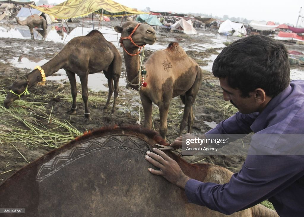 Pakistani camel trader decorates his camel for customer attraction at a livestock market set up for the upcoming Muslim sacrificial festival `Eid...