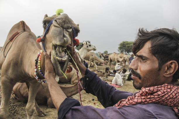 Pakistani camel trader feeds his camel at a livestock market set up for the upcoming Muslim sacrificial festival `Eid alAdha in Lahore Pakistan on...