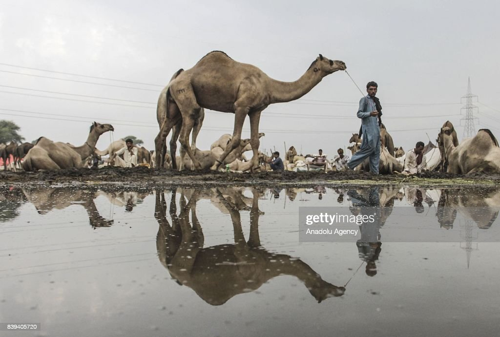 Pakistani camel trader walks with his camel at a livestock market set up for the upcoming Muslim sacrificial festival `Eid alAdha in Lahore Pakistan..