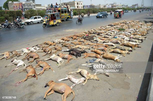 Pakistani commuters drive past a pile of dog carcasses at the road side in Karachi on May 12 2015 The city municipality has launched a campaign to...