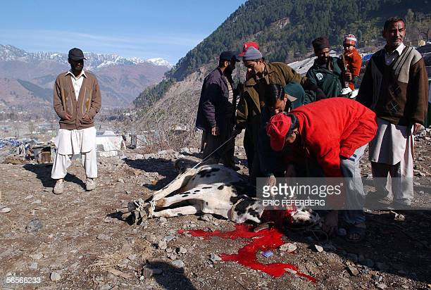 Pakistani earthquake survivors slaughter a cow 11 January 2006 in Balakot on the occasion of the Muslim festival of Eid alAdha the feast of sacrifice...