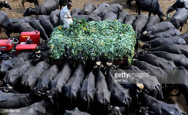 A Pakistani farmer feeds buffaloes at a farm in Lahore on February 22 2012 Pakistan is the fifth largest milk producing country in the world...
