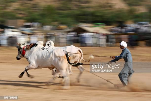 A Pakistani farmer guides his bulls as he competes in a traditional bull race in Bilawal village in Chakri some 65 kms from Islamabad on July 4 2019...
